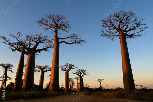 In de dag Baobab Baobab alley, Madagascar