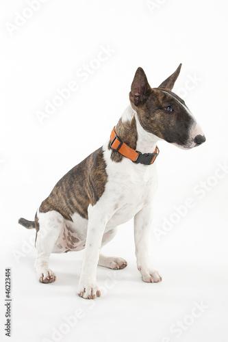 Miniature Bull Terrier Fototapete