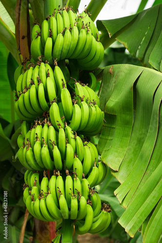 Naklejka na szybę Bunch of ripening bananas on the tree in garden