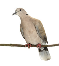 Eurasian Collared Dove Perched On Branch, Streptopelia Decaocto