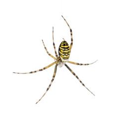 Wasp spider, Argiope bruennichi, hanging on web