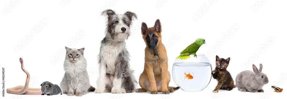 Fototapeta Group of pets with dog, cat, rabbit, ferret, fish, frog, rat