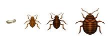 Bed Bug Life Cycle - Cimex Lectularius