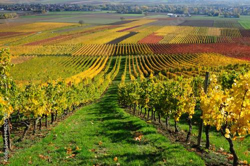 fototapeta na ścianę Winnice w kolorach jesieni. Dolina Renu, Niemcy