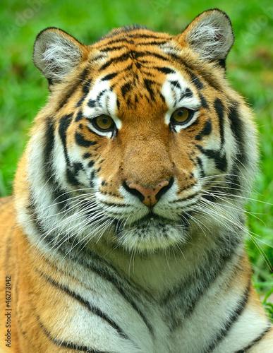 Foto auf AluDibond Tiger Tigers