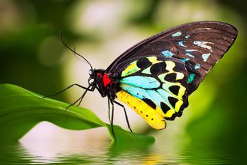 Naklejka Eko Male Birdwing butterfly (Ornithoptera euphorion)