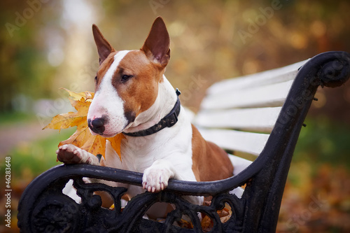 Fotografiet The red bull terrier lies on a bench