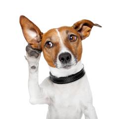 Fototapeta dog listening with big ear