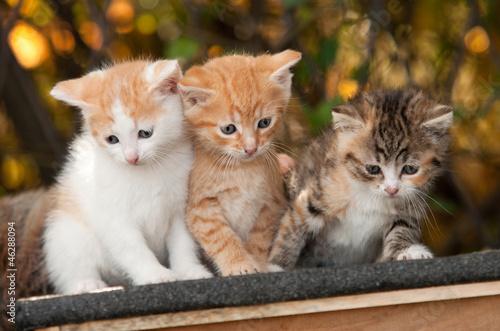 Obraz Trzy kotki - fototapety do salonu