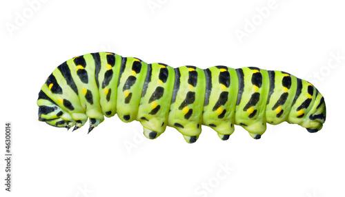 Fotografía  Сaterpillar of swallowtail 6
