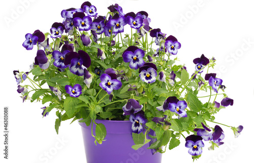 Violet pansies in pot