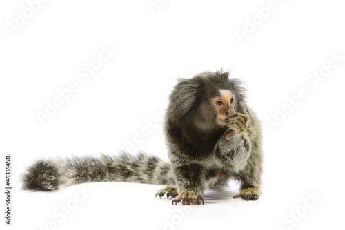 Foto op Plexiglas Aap Marmoset Monkey