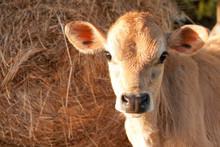 Friesen Dairy Cow Calf
