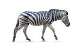 Fototapeta Zwierzęta - Zebra male - white background