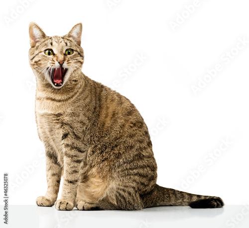 Emotional domestic cat Fototapeta