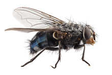 Blue Bottle Fly Species Callip...