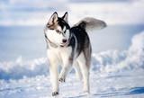Fototapeta Dogs - dog hasky running in winter