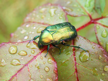 Rose Leaf With Raindrops And A Bug - Rose Chafer