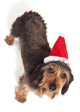 Dachshund Looking Up At Camera In Santa Hat Isolated On White