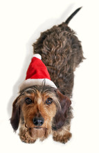 Dachshund With Santa Hat Looking Up At Camera