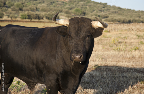 Corrida Young fighting bull portrait