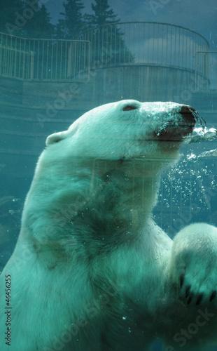 Photo sur Toile Ours Blanc Quebec, bear in the Zoo sauvage de Saint Felicien