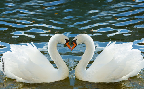 Papiers peints Cygne Two swans bent necks in the form of heart