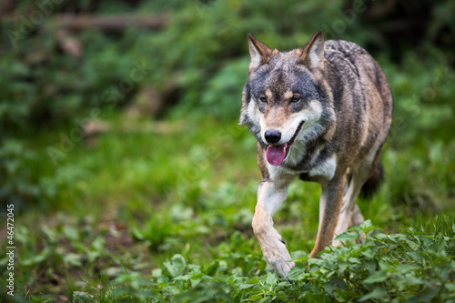 Gray/Eurasian wolf (Canis lupus) Canvas Print