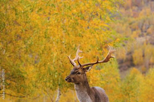 Fotobehang Ree beautiful fallow deer stag