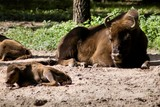 Fototapeta Zwierzęta - Bison bonasus (żubr)