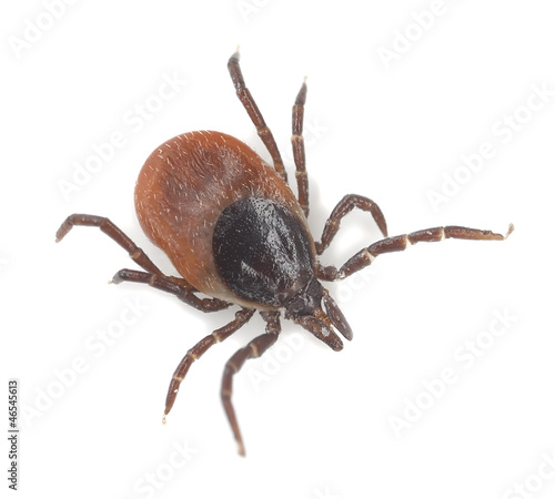 Tick isolated on white background, extreme close-up Canvas Print