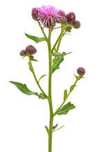 Cirsium Arvense Flower