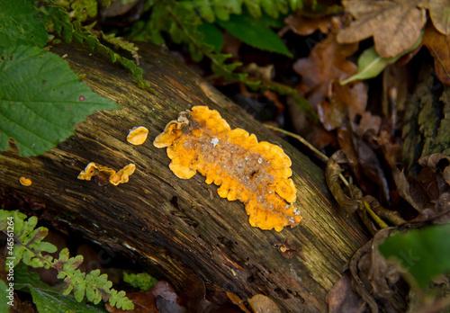 Fotografia, Obraz  Orange Fungus
