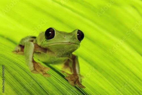 Foto op Aluminium Kikker tropical tree frog
