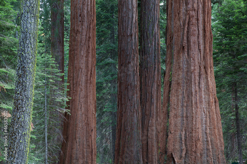 Poster Parc Naturel Detail of the big sequoia trees, Sequoia National Park