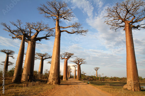Fond de hotte en verre imprimé Baobab Allée des Baobabs, Morondava