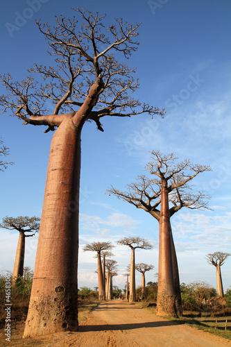 Keuken foto achterwand Baobab Allée des baobabs de Morondava - Madagascar