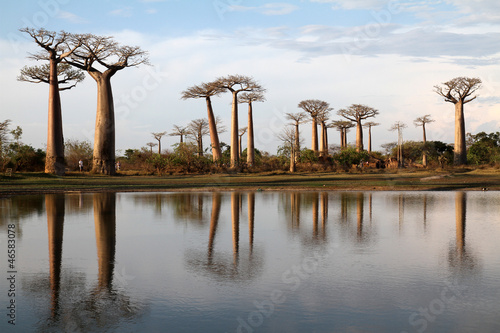 Staande foto Baobab Allée des baobabs