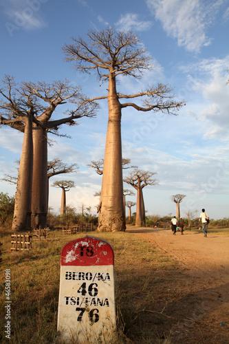 Keuken foto achterwand Baobab Allée des Baobabs, Morondava