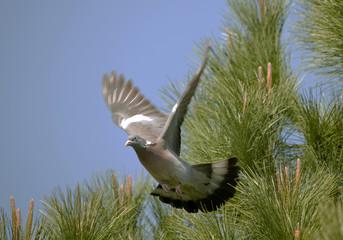 Pigeon ramier en vol