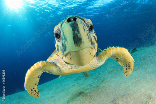 Poster Tortue Hawksbill Sea Turtle