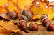 Brown Acorns On Autumn Leaves,...