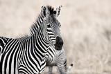 Fototapeta Zebra - African Zebra