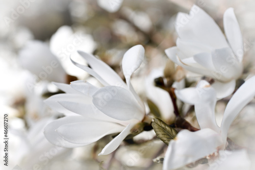 Foto op Canvas Magnolia Beautiful magnolia blossom