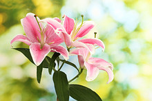 Beautiful Pink Lily, On Green Background