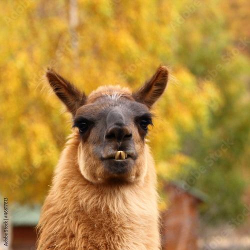 Staande foto Lama llama over autumn background