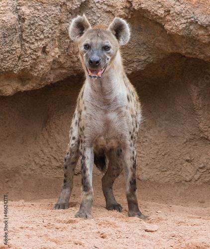 Deurstickers Hyena Spotted Hyena