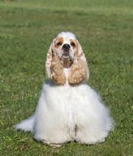 Beautiful Purebred Dog On Green Grass Looking At Camera