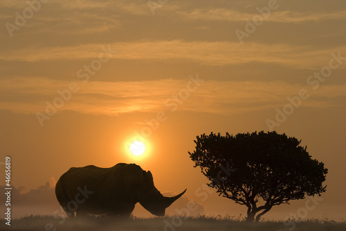 Spoed Foto op Canvas Neushoorn Huge rhinoceros in sunset aside African Acacia tree