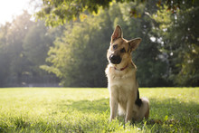 Young Purebreed Alsatian Dog I...